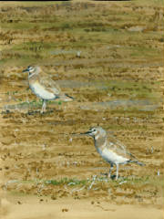 MountainPlovers0001.jpg