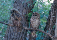 spotted_owls_corrected.jpg